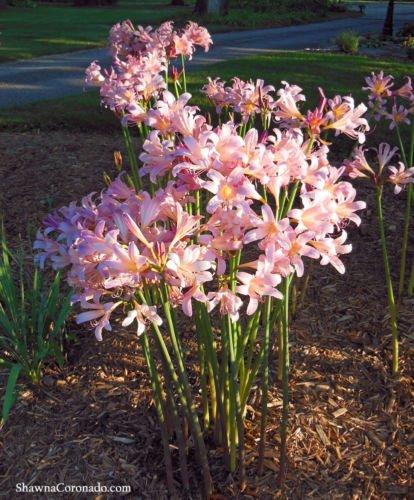 5 Amaryllis Belladonna - Pink Naked Ladies - Surprise Lily - 5 bulbs