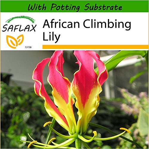 SAFLAX - African Climbing Lily - 15 Seeds - with Soil - Gloriosa rothschildiana