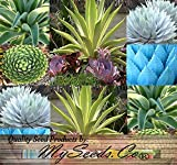 Agave Species Seeds Mix - showy desert plants, handsome rosettes with spines on the tips - Excellent House Plants succulent - For Greenhouse, Home And Indoor - Quality Seeds By MS.CO (10 Packets)