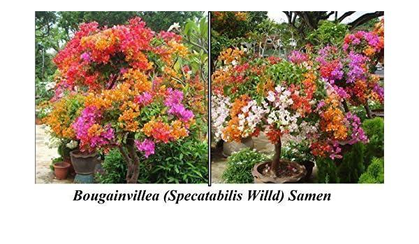 15 X EUROPALMS - planta artificial (210 Semillas de atención Flores Flores Semillas Planta rarität algodón Semillas Jardín novedad # 100: Amazon.es: Jardín