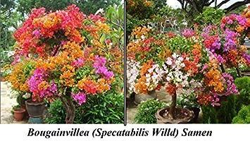 15 X EUROPALMS – planta artificial (210 Semillas de atención Flores Flores Semillas Planta rarität