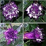 ADB Inc DD 2016 Hot 2 Pack Very Beautiful Purple Moon Angel Trumpet Datura