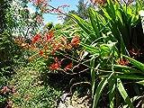 Go Garden Watsonia Latifolia - Hardy Exotic Bulb - Seeds