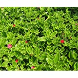 15 Seeds Aptenia cordifolia, Red Apple Ground Cover Iceplant Cactus Baby Sunrose