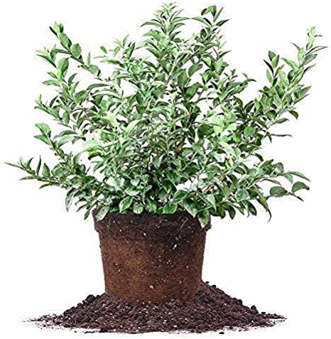 BRIGHTWELL Rabbiteye Blueberry Shrub 1 Gallon Bare-Root One of The Most Reliable Blueberries.Good for Baking and Fresh Eating