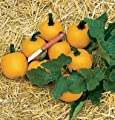 David's Garden Seeds Pumpkin Wee Be Little D2216A (Orange) 50 Open Pollinated Seeds