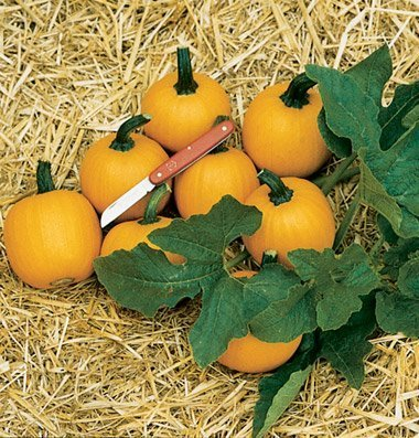 David's Garden Seeds Pumpkin Mini Wee Be Little SV2216 (Orange) 50 Non-GMO, Open Pollinated Seeds ()
