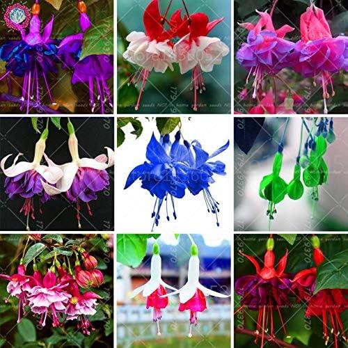 Amazon Com Plants Outdoor Evergreen 100pcs Lantern Flower