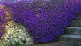 Aubrieta Purple Flower Seeds from Ukraine