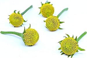 Acmella oleracea (Buzz Buttons) Szechuan Buttons : 80 Individual
