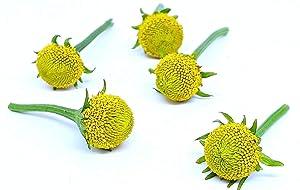 Acmella oleracea (Buzz Buttons) Szechuan/sechuan Buttons (60 Individual Fresh Edible Flowers) - Lemon Drop Variety.