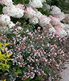 "Ruby Anniversary Abelia - Fragrant and Hardy - Proven Winners - 4"" Pot"
