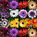 HEIRLOOM NON GMO African Daisy Mix 25 seeds