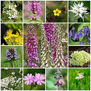 Rp seeds wildflower seeds woodland shade mix 2g 15 native rp seeds wildflower seeds woodland shade mix 2g 15 native british perennial mightylinksfo