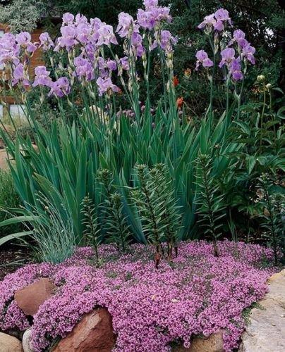 Amazon.com: Orgánico Rock soapwort 25 + semillas perenne ...