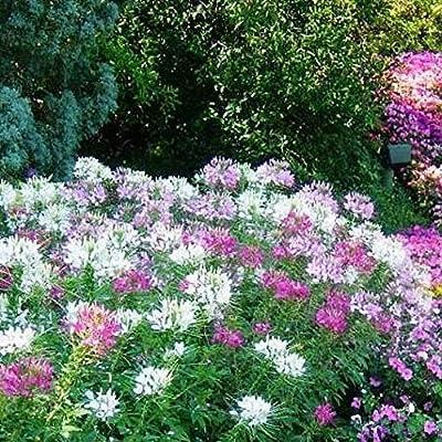 David's Garden Seeds Flower Cleome Mix Colors SL6642 (Multi) 200 Non-GMO, Open Pollinated Seeds : Garden & Outdoor