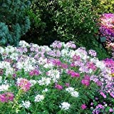 David's Garden Seeds Flower Cleome Mix Colors SL6642 (Multi) 200 Non-GMO, Open Pollinated Seeds