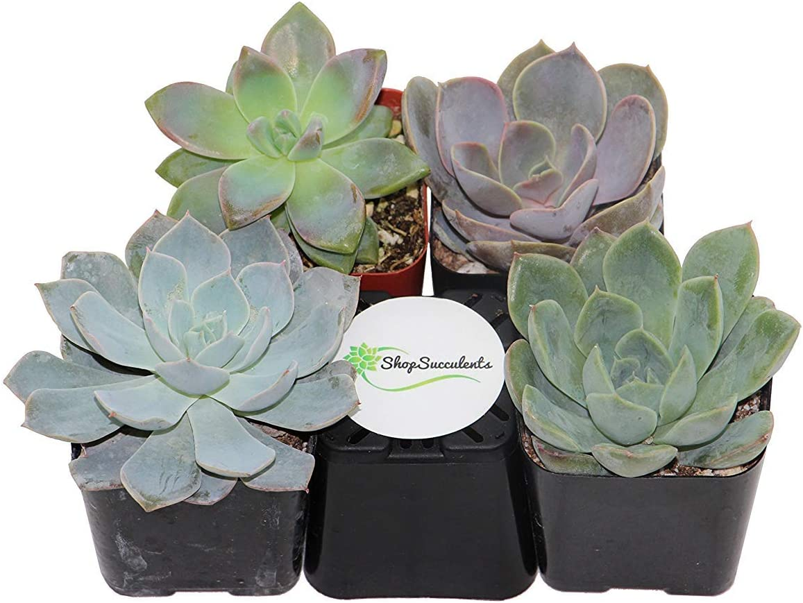 Shop Succulents Rosette 2 Plants in in Christmas Gift Box Real Live Potted Succulents, Pack of 12