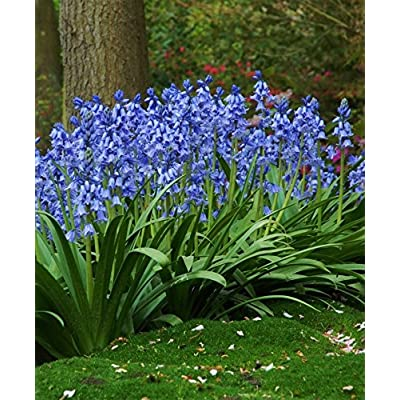 25 HYACINTHOIDES HISPANICA EXCELSIOR A.K.A Wood Hyacinth or Spanish Bluebells, Delight in the Garden, Pretty spring flowers. : Garden & Outdoor