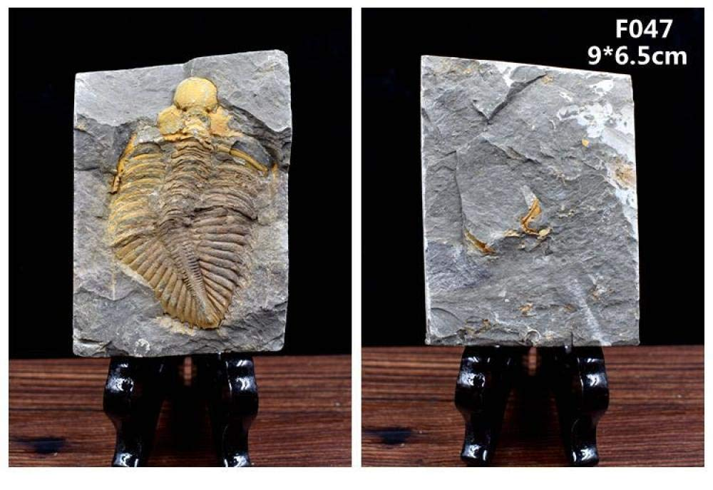 매트릭스의 정통 자연 절지 동물 삼엽충 화석-화석 수집 및 교육 목적을위한 해양 삼엽충-수집 수준