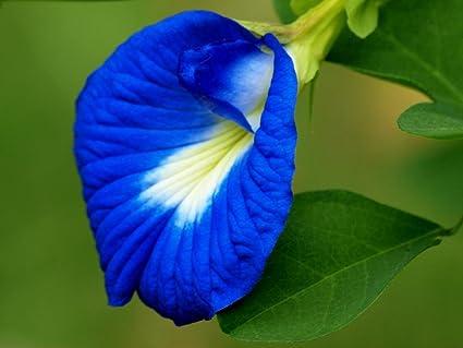 Image result for aparajita flower