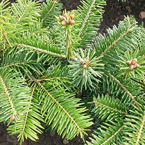 200 Stück Nordmanntanne Weihnachtsbaumpflanze als Wurzelware 4.jährig15-25 cm
