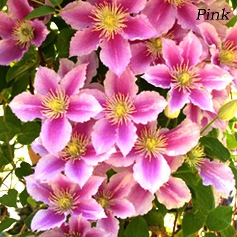 obiqngwi 50pcs Clematide Rampicante Semi Bonsai Pianta Ornamentale Fiore Hardy Perenne Fiori Decor Seme di Fiore Semi di Clematis bianchi