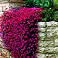 AGROBITS 200pcs/bag Mixed Color Rock cress Creeping Thyme Bonsai Perennial Flower Plant Ground Cover Flower Garden Decoration: Mix