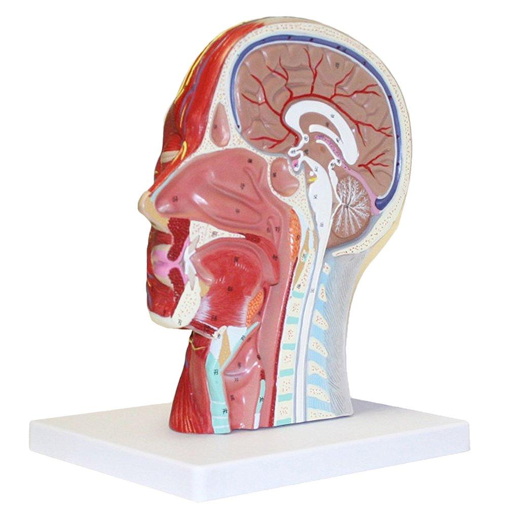 Homyl Menschliche Anatomie - Kopfmodell asiatisch mit Hals ...
