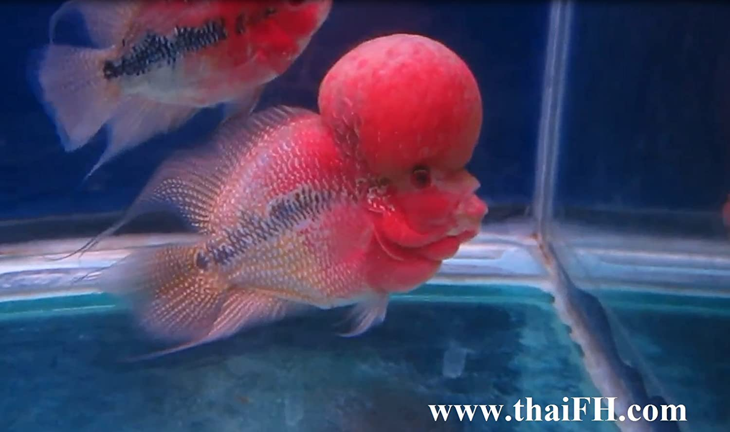 Amazon com : Live Flowerhorn Fish for Sale (Cichlid, Louhan