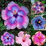 Hot Selling Giant Hibiscus Exotic Coral Flower 100 Seed Mix Rare Blue-Pink Color