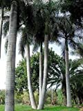 Cuban Royal Palm 10 Seeds - Roystonea regia
