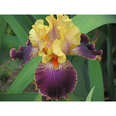 1 DEVIL'S RIOT BEARDED IRIS Rhizome / Bulb / Root - ORDER for FALL PLANTING : Garden & Outdoor
