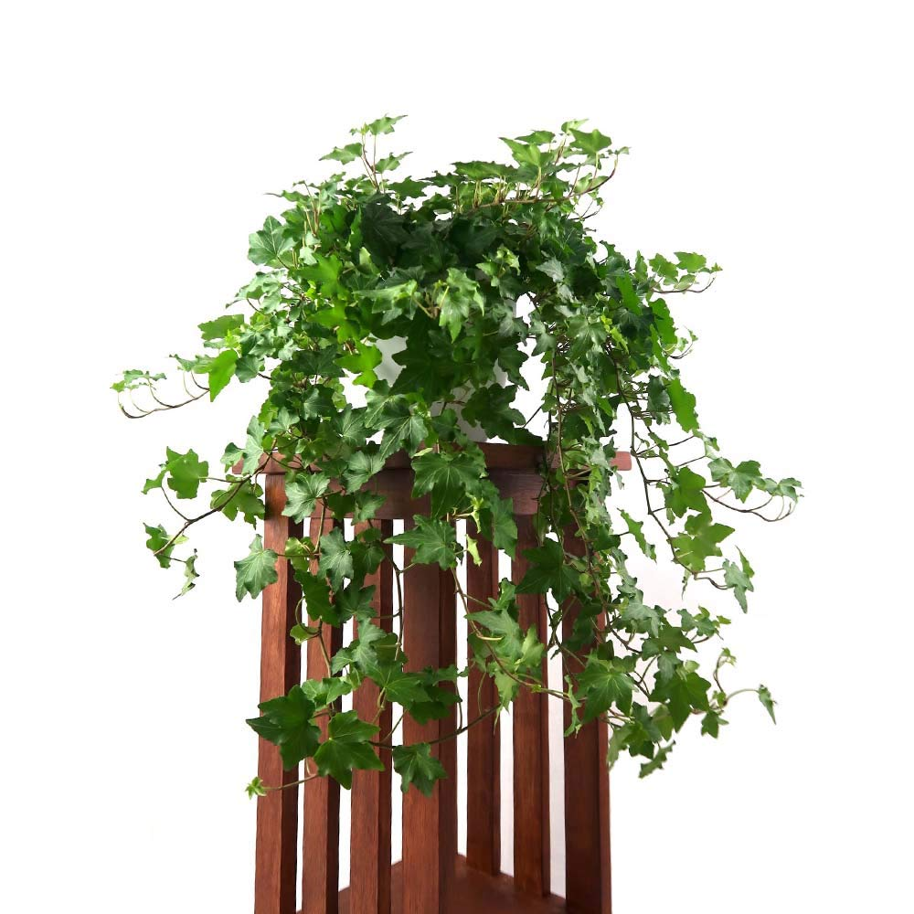 AMERICAN PLANT EXCHANGE English Ivy Baltic Trailing Vine Live Plant, 6'' 1 Gallon Pot, Indoor/Outdoor Air Purifier by AMERICAN PLANT EXCHANGE (Image #2)