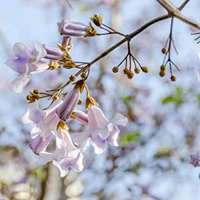 Paulownia Queen Tree Seeds, Paulownia Pot Plants, 100 Capsules/Pack : Garden & Outdoor