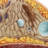 HITSAN Anatomy Teaching of Female Pathological