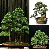 Hot 20pcs Japanese White Pine Pinus Parviflora Green Plants Tree Bonsai Seeds