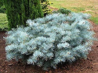 SPREADING WHITE FIR - Abies concolor 'Wattezii Prostrata' - A SPREADING, BLUE, LARGE NEEDLE FORM OF EASTERN WHITE - 2 - YEAR PLANT