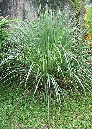 Tropica - Plantas - Lemon Grass (Cymbopogon flexosus) - 100 Semillas