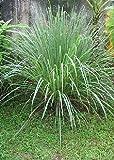 Tropica - Kräuter - Zitronengras (Cymbopogon flexosus) - 100 Samen