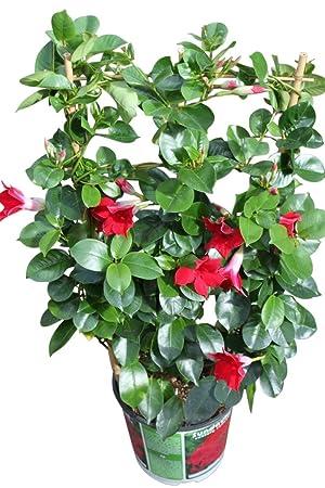 Planta dipladenia reproduccion asexual de las plantas