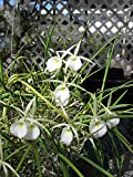 B. Kiilani Stars- Grows like a weed! Magnificent Fragrant Orchid plant