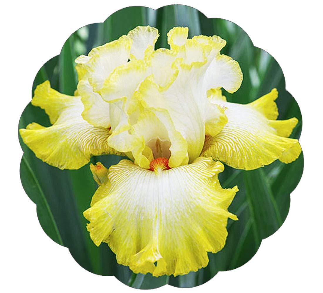 Amazon Stargazer Perennials Yellow Bearded Iris Plant Potted