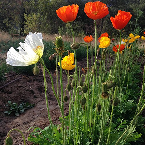 All Good Things Organic Seeds Iceland Poppy Flower (Papaver nudicaule) Seeds (~150)