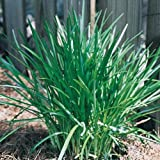 Liriope muscari 'Densiflora', Densiflora Lily Turf - set of 50 plants shipped Bare-root
