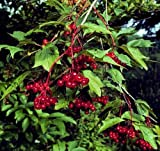 50 Plus Pre-Stratified Cranberry Seeds Fresh Pack
