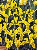 15 Bulb Plant Dwarf Iris Danfordiae