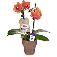 Hallmark Flowers Orchid Salmon in 3-Inch Terra Cotta Container