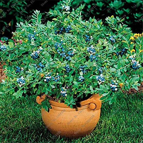 50pcs/ bag American Blue Dwarf Blueberry seeds edible potted fruit seeds Bonsai tree for garden and balcony SVI