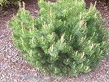 Mugo Pine 25 Seeds - BONSAI - Pinus mugo mughus by Hirts: Seed; Bonsai